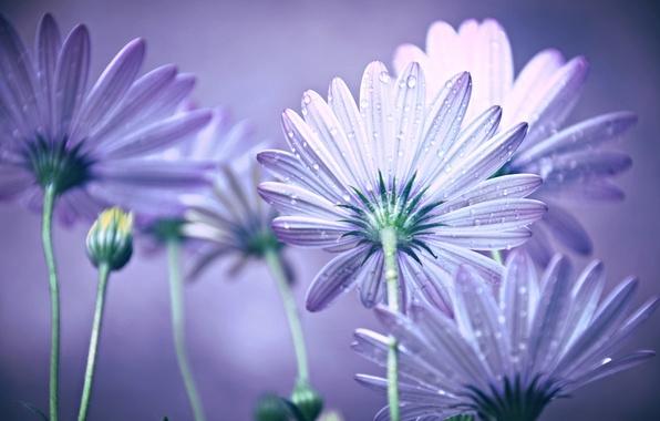 Картинка вода, капли, цветы, роса, лепестки, стебель