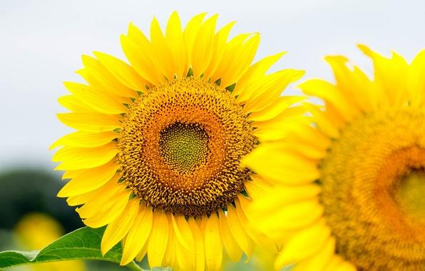 Картинка небо, цветы, подсолнух, лепестки