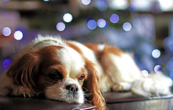 Картинка взгляд, огни, диван, собака, щенок, боке