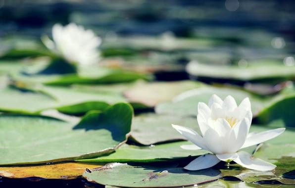 Картинка листья, цветы, пруд, кувшинка, белые, водяная лилия