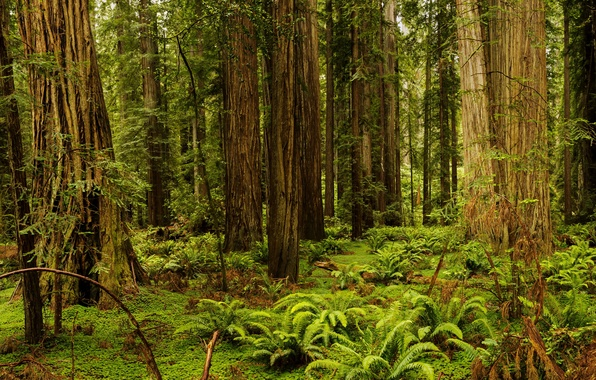 Картинка лес, трава, деревья, Калифорния, США, папоротник, Redwood National And State Parks