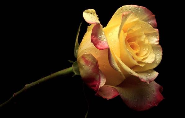Картинка цветок, цветы, желтый, розовый, роза, лепестки, черный фон