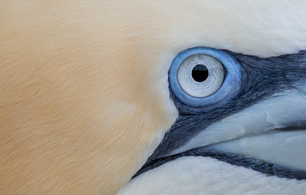 Картинка bird, eye, gannet