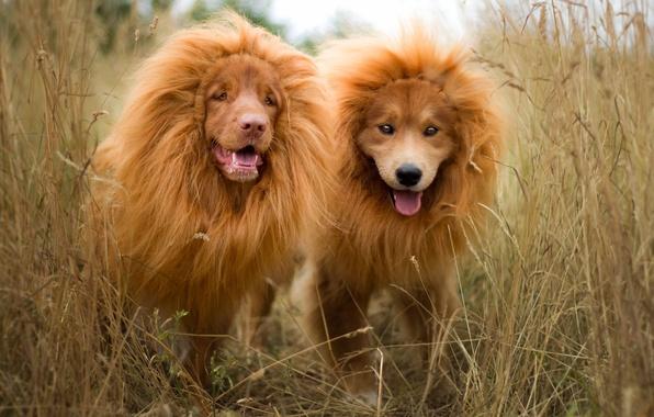 Картинка язык, собаки, трава, природа, лев, щенки, пара, грива, рыжие, львы, львята, морды, забавно, порода, две …