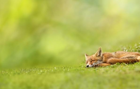 Картинка зелень, трава, природа, лиса, спит, рыжая, лисица