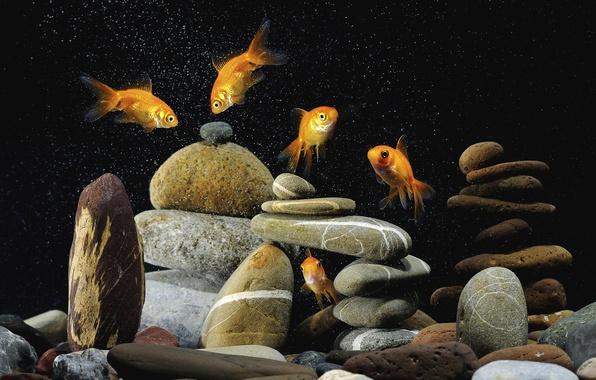 Картинка фон, чёрный, разноцветные, камешки, золотых, рыбок, Пять