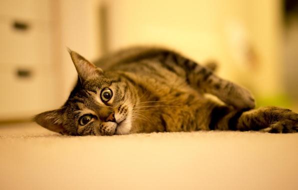Картинка кошка, животные, кот, взгляд, пол, лежит