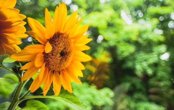 Картинка зелень, цветок, листья, цветы, желтый, фон, подсолнух, размытость