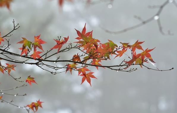 Картинка осень, листья, капли, пасмурно, ветка