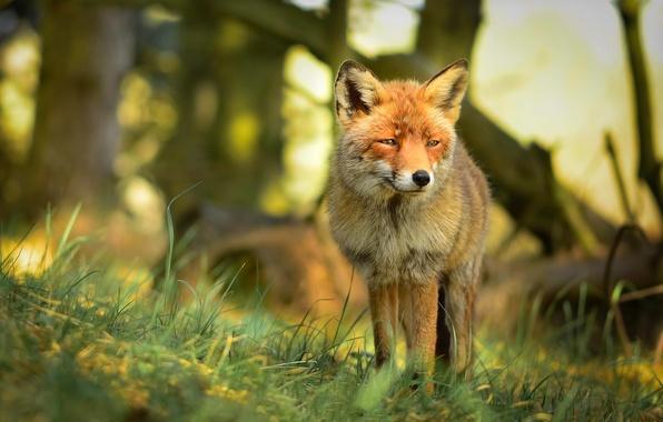Картинка лес, взгляд, природа, хищник, лиса, рыжая