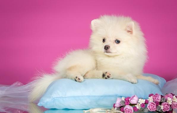 Картинка белый, цветы, щенок, подушка, венок, шпиц