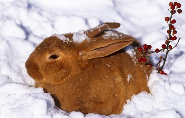 Картинка зима, снег, ягоды, заяц, кролик, рыжий