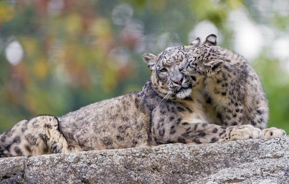 Картинка игра, хищник, семья, пара, ласка, ирбис, снежный барс, детёныш, забота, дикая кошка, зоопарк, снежный леопард, …