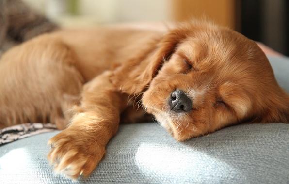 Картинка сон, малыш, рыжий, милый, щенок, спаниель