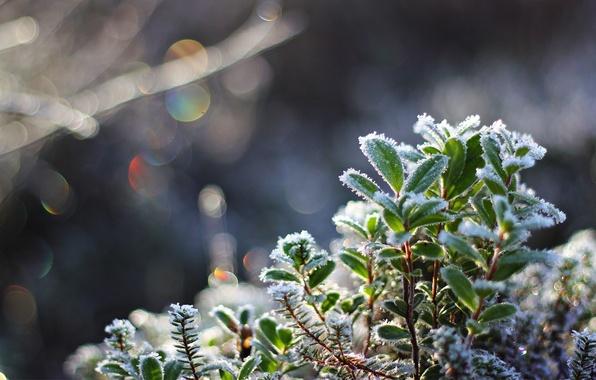 Картинка холод, иней, листья, макро, снег, растение, кристаллы, боке