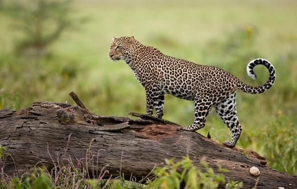 Картинка природа, хищник, леопард
