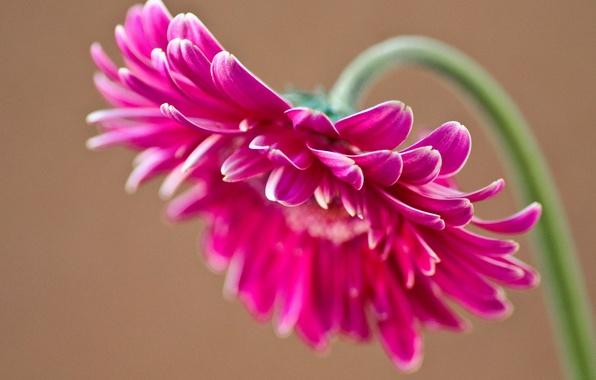 Картинка цветок, розовый, лепестки, гербера