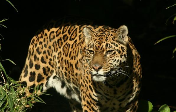 Картинка взгляд, морда, хищник, Ягуар, охота
