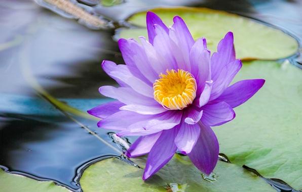 Картинка листья, вода, Голубой лотос, Кувшинка голубая, Водяная лилия