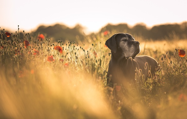 Картинка лето, маки, собака
