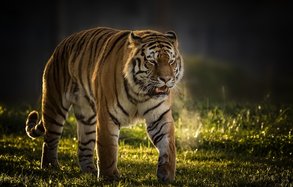 Картинка тигр, фон, хищник, дикая кошка, красавец
