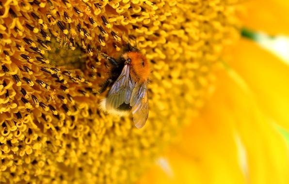 Картинка цветок, макро, жёлтый, пчела