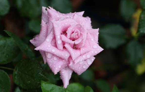 Картинка цветок, вода, капли, макро, роса, роза, лепестки, бутон, rose