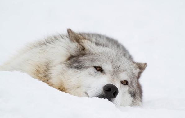 Картинка зима, морда, снег, отдых, волк