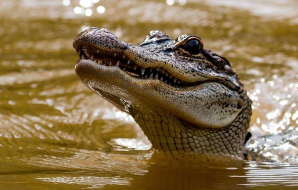 Картинка морда, вода, голова, крокодил, зубки, аллигатор