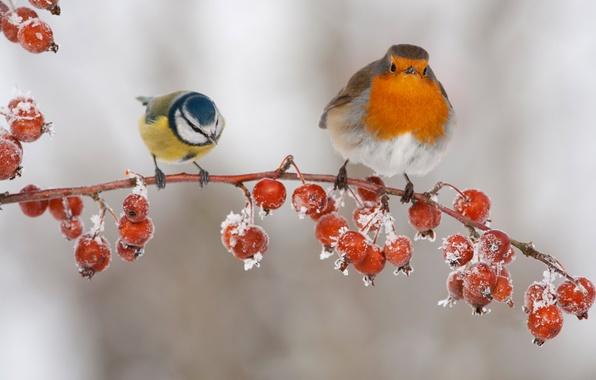 Картинка птицы, ягоды, ветка, плоды, синица, малиновка