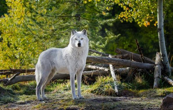 Фото обои белый. взгляд, животное, wolf, природа, волк, деревья