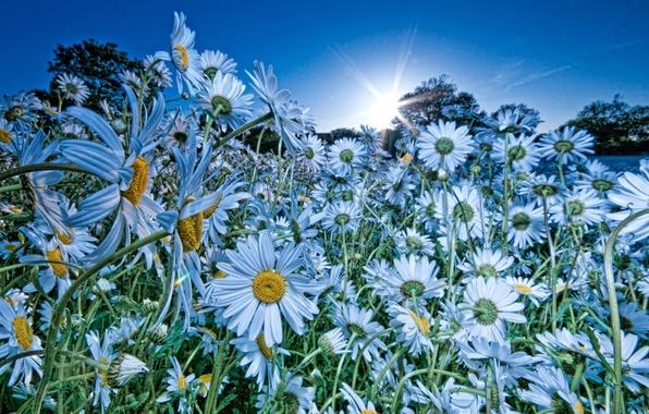Картинка поле, небо, солнце, цветы, природа, ромашки, голубой цвет