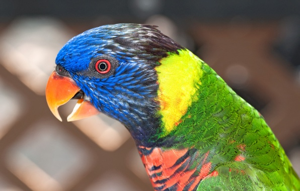 Картинка птица, цвет, попугай