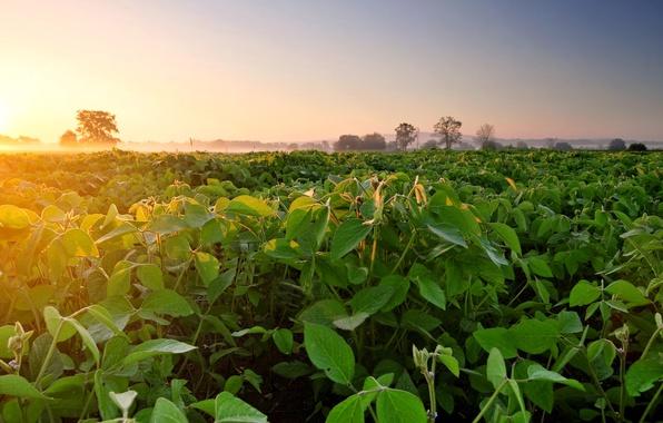 Фото обои поле, туман, рассвет, утро, плантация, соя, Soybean