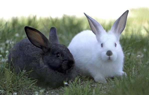 Картинка белый, чёрный, пара, кролики