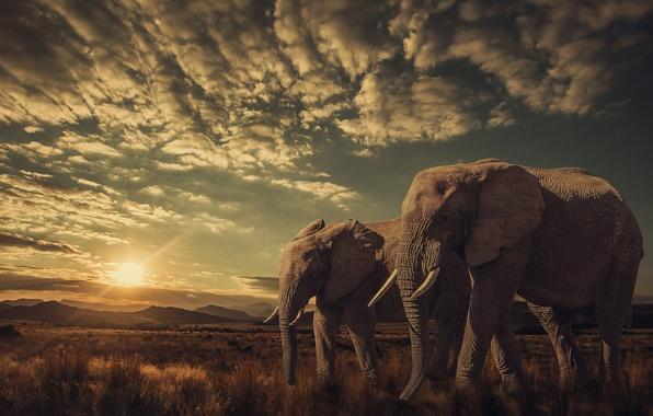 Фото обои слоны, закат, природа