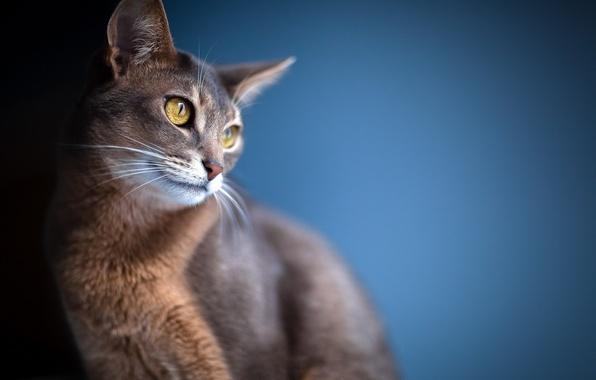 Картинка кошка, глаза, взгляд, фон, размытость, уши