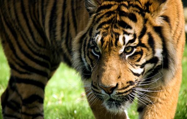 Картинка взгляд, морда, полоски, тигр, хищник, дикая кошка