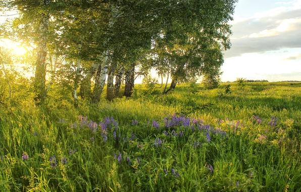 Картинка зелень, поле, лето, трава, солнце, деревья, цветы, луг, березы
