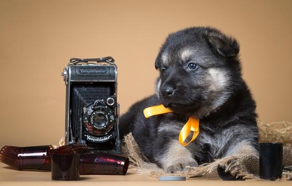 Картинка ретро, фотоаппарат, пленка, щенок, бантик, овчарка