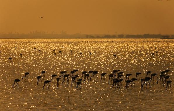 Картинка птицы, озеро, Индия, фламинго, Mahesh B Photography, Gold Harvest - Flamingos, Пуликат