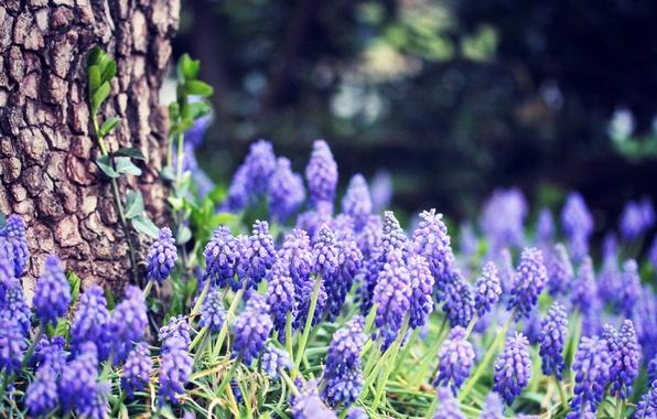 Картинка лес, трава, цветы, природа, дерево, весна, ствол, кора, синие, боке, Виноградный гиацинт