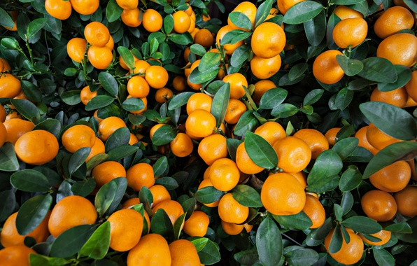 Картинка апельсины, фрукты, leaves, fruits, oranges