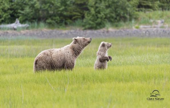 Картинка медведи, Аляска, луг, медвежонок, Alaska, детёныш, медведица, Lake Clark National Park