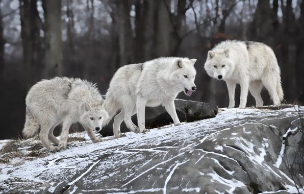 Обои картинки фото волки хищник