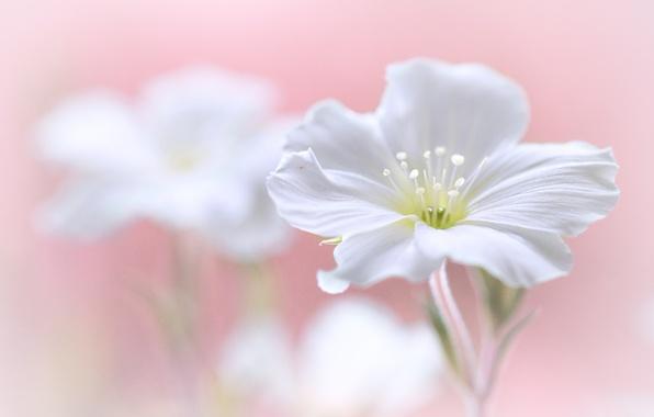 Картинка цветок, растение, лепестки, тычинки