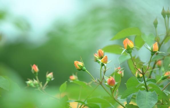 Картинка зелень, макро, природа, зеленый, цвет, куст, розы, размытость, оранжевые, бутоны