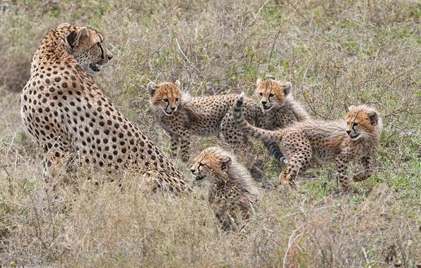 Картинка котята, гепарды, материнство, семейка, детёныши
