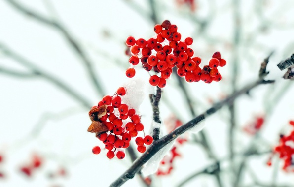 Картинка осень, снег, ягоды, ветка, рябина
