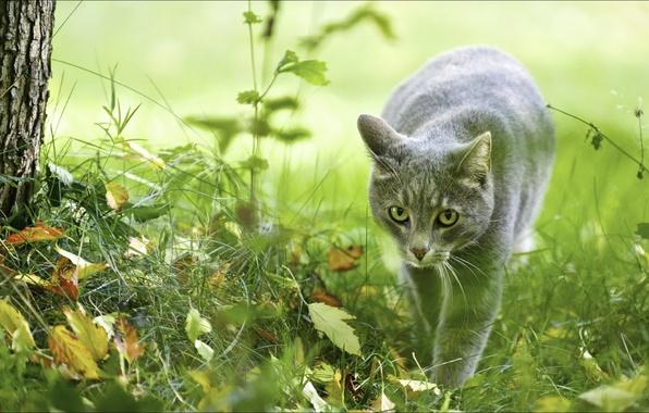Картинка животные, фотообои, сераморда, кошки, природа, охотница, осень